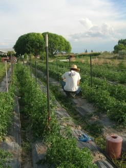 tying tomatoes
