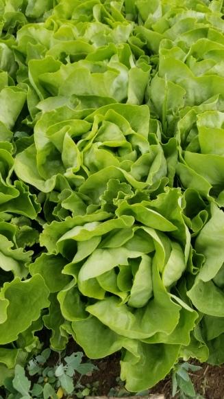 Lettuce. Mirlo head
